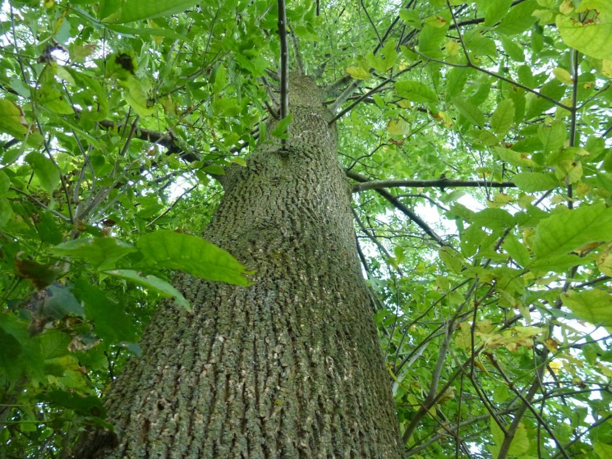 A+healthy+Ash+Tree+%28Fraxinus%29+stands+tall+and+sturdy