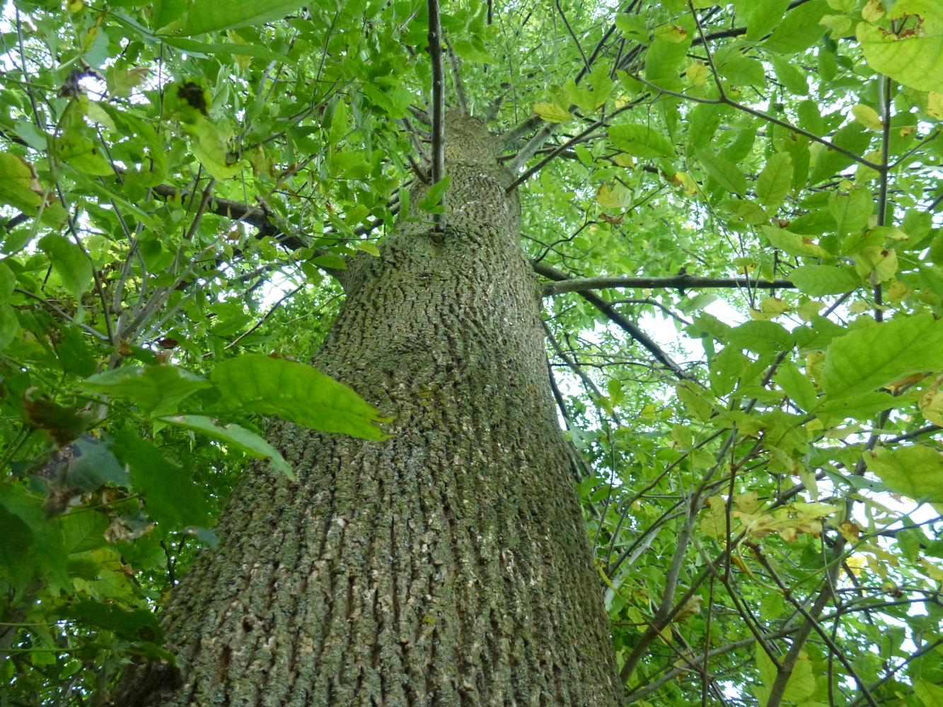 A healthy Ash Tree (Fraxinus) stands tall and sturdy