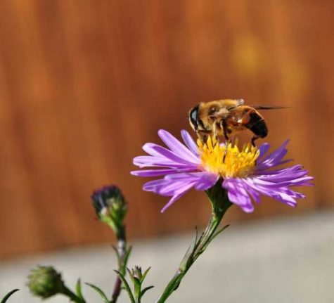 Summarized guide by apicologists on bees you will run into this summer